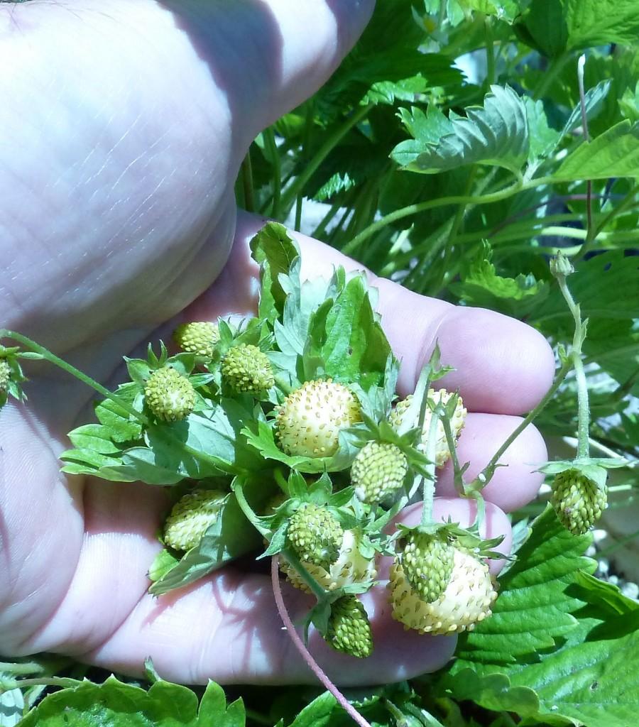 Fragaria x bifera fruit